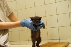 Banditka kitten