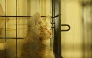 Belobrysska cat