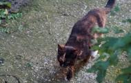 Chernushka cat