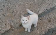 Skovorodnik cat