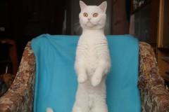 Skovorodnik cat sees something in the window