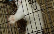 Skovorodnik cat in the cage