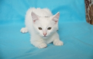 Timophey kitten photo session
