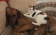 Little Rag cat and  large dogs