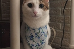 Little Rag cat after spaying