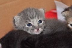 Gray kitten at the temporary home