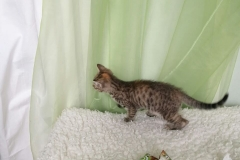 Stripy-mottled kitten in the new home