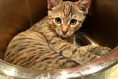 Stripy-mottled kitten in the new home
